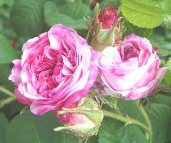 保加利亚玫瑰水罗萨大马士革纯露浓缩玫瑰纯露