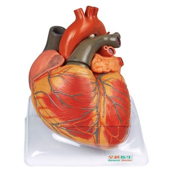 GD / a16006成人心脏解剖模型(人体模型)