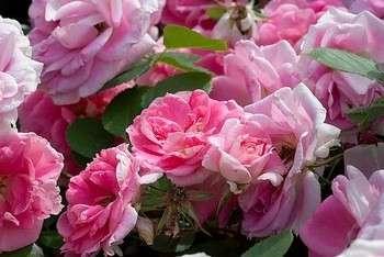 保加利亚玫瑰精油玫瑰精油保加利亚玫瑰纯精油保加利亚玫瑰净油罗萨damascena精油玫瑰精油