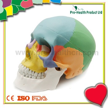 彩色真人大小医用解剖人体颅骨模型