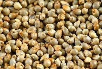 珍珠小米——质量和价格最好