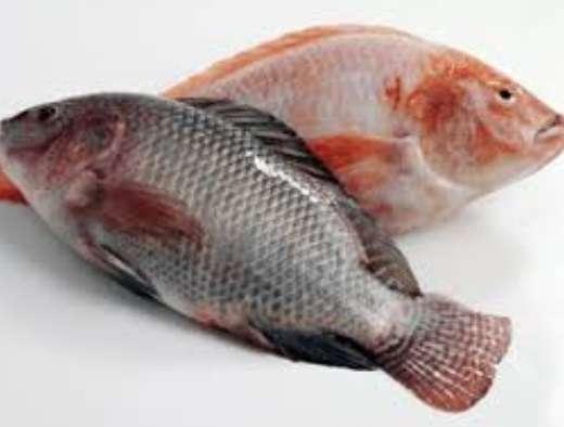 新鲜罗非鱼