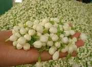 Fresh Cut Jasmine Flower For Wedding For Sale