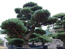 Professional And High Quality Dinosaur Park Japanese Bonsai For Freedom Big Tree Also