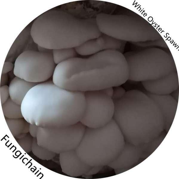 White Oyster Mushroom Spawn