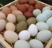 Fresh chicken table eggs for sale