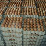 100% Fresh Chicken Table Eggs