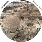 2kg High-quality shiitake mushroom spawn for Asia, USA, Aus. and New Zealand