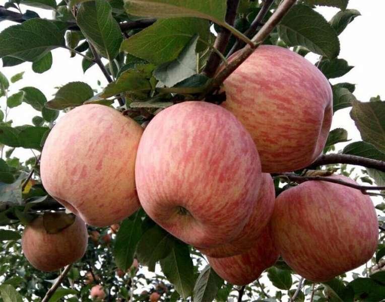 鲜苹果(富士、嘎拉、红、金苹果)