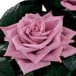Ecuadorian Roses, Fresh cut roses from Ecuador