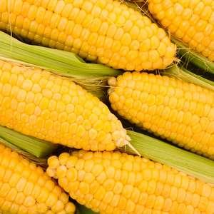 Taiwan Best Local Sweet Corn Fruit Product