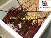 lobster frozen ,tails,live