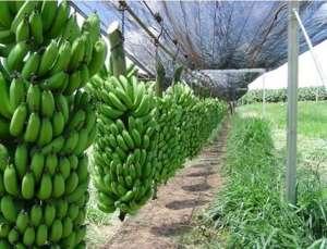 Organic Cavendish Bananas