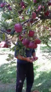Uzbekistan high quality apple from Jizakh region Bakhmal