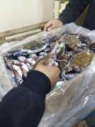 Live Mud Crab /Frozen Seafood/frozen Crab/wholesale Seafood Supply