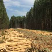 Factory Price Good Quality Wholesale Chilean Lumber Eucalyptus Nitens Logs