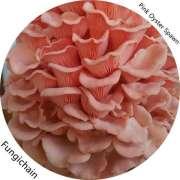 Pink Oyster Mushroom Spawn