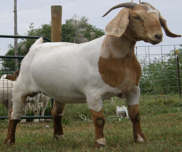 Live Kalahari Red Goats / Live Kalahari Goa / 100% Full