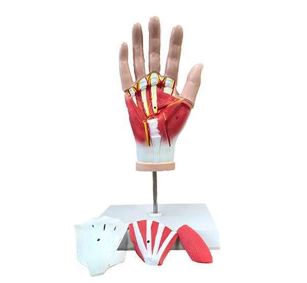 Hand Anatomy Advanced Pvc Medical Anatomical Hand Skeleton Muscle